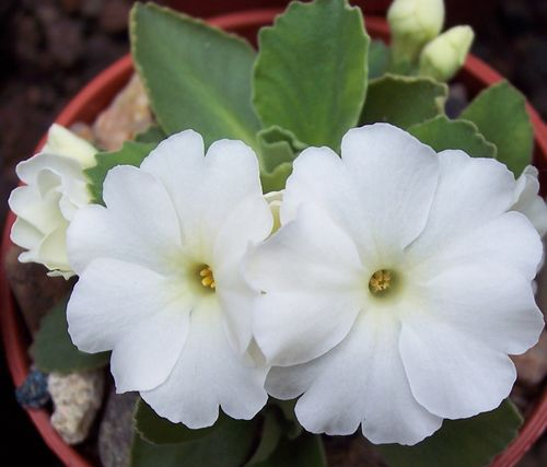 Primula Aire Waves