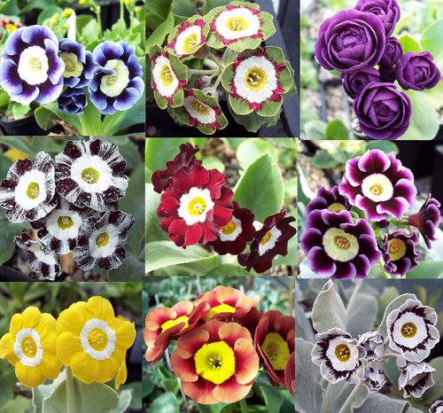 from Named Cultivars 40 Seeds 2020 Border Auricula