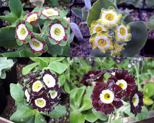 Auricula collection # 5