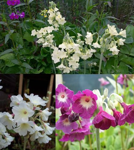 Primula alpicola varieties (3 plants)