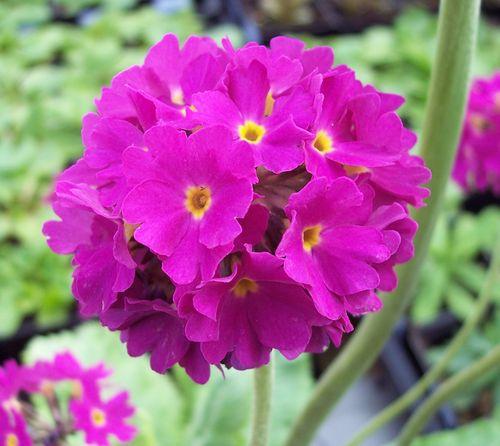 Primula denticulata Rubin Selection