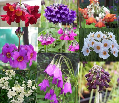 Garden Primula Collection #1