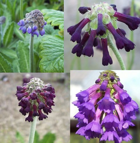 4 X plant Smaller Asiatic Primula collection