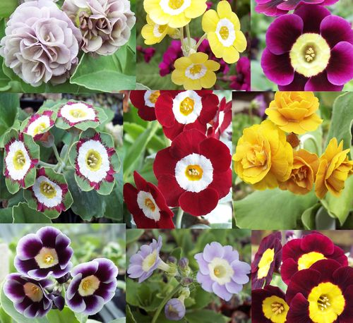 Auricula collection # 8 - 9 varieties plus printed labels