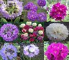 Drumstick primula collection spring display