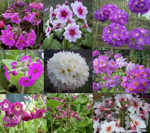 Primula starter collection #1 restful colours