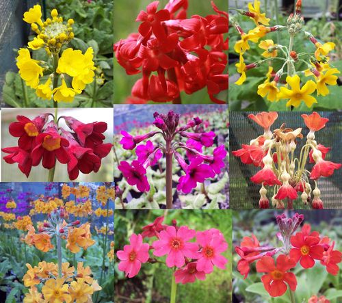 Primula starter collection # 2 Vibrant colours