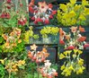 8 X plant Scented collection, Primula florindae